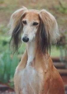 Is A Saluki Right For You? - Saluki Club of America