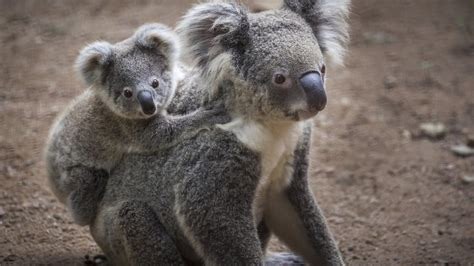 Koalas are being Trampled by Livestock | Australia