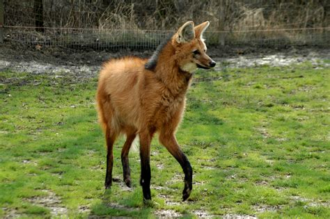 The Maned Wolf - Kids Discover